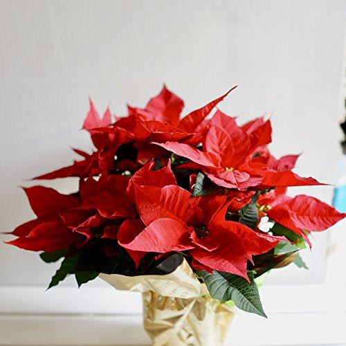 フラワーショップカレラ ポインセチア赤5号鉢