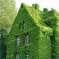 ホームガー100個/袋混合色盆栽S S緑色Parthenocissusトライアスロンフローレス:1