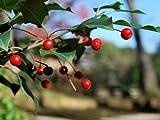【6か月枯れ保証】【葉や形を楽しむ木】ソヨゴ 1.0m