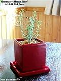 """ローズマリー""""モーツァルトブルー""""/ ヴィヴィッド レッドポット / Rosemary'Mozart Blue / Vivid Red Pot / インテリアハーブ / 鉢植え"""