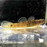 (淡水魚)スミウキゴリ(1匹)【生体】