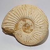 アンモナイト(ペリスフィンクテス) 約53g