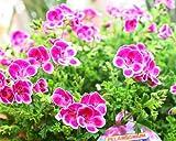 季節の花鉢 ペラルゴニウム:ぜラニューム鉢植え かご付