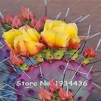 ビッグプロモーション!!!100個サボテンRebutiaバラ色開花サボテンレアサボテンシードオフィスミニ植物多肉植物盆栽種子