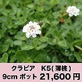 クラピア K5(薄桃) 9cmポット 40鉢セット