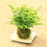 観葉植物:アジアンタム苔玉*白角受け皿