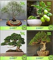 SEED盆栽種子:HomSEEDコンボユーカリ、グアバ、イトスギTorulosa、(パケット当たり10)オーストラリアEEDの種子用盆栽適切な種子