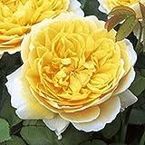 バラ苗 シャーロットオースチン 国産大苗ER6L専用鉢 イングリッシュローズ 黄色系