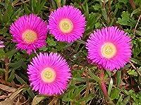盆栽の種新鮮なCarpobrotus Rossii珍しいMesembryanthemum(エキゾチックな多肉植物)20