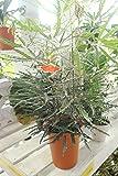 【観葉植物】 グリーンエレガンス アラレア 5寸鉢 【送料込】【ギフトにも】
