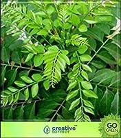 高い成長SEEDSだけでなくPLANTS:SEEDカレー種子ムラヤKoenigii - バルコニーガーデンシードのためにインド料理の種子のチック・リーフ(パケットあたり5)