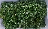 【特価】 無農薬アナカリス 50本【増殖用・エサ用】20cm前後(剪定後草体・成長点規格外)【生体】