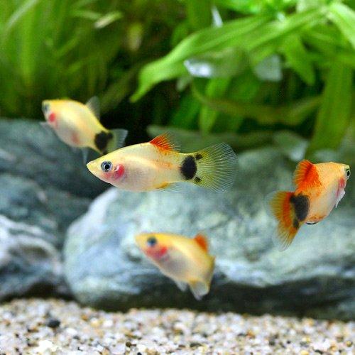 (熱帯魚) イエローミッキーマウスプラティ(4匹) 本州・四国限定[生体]