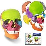 ミニ人類の頭骨モデル、カラー、15の部品のひらサイズの解剖学的頭蓋骨モデル、1/2の大きい解剖の頭骨の模型爆発頭蓋骨、医学教育、子供の学習教育