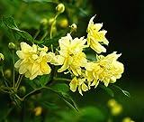 【バラ苗】 黄 モッコウバラ 八重 (オールドローズ) 黄色 バラ 苗 薔薇