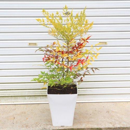 庭樹盆栽:紅白南天(鉢植え)鉢色選べます!(白or黒) (白)
