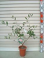 【オリーブ苗木[T]】 ロシオーラ 3年生苗 5号鉢 【ガーデンストーリーの苗木】