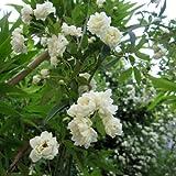 モッコウバラ:白花八重3~3.5号ポット3株セット ノーブランド品