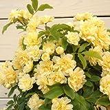 鉢花:キモッコウバラ(黄木香バラ)