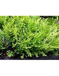JUNIPER - ライムGLOW - 2つの植物 - 2
