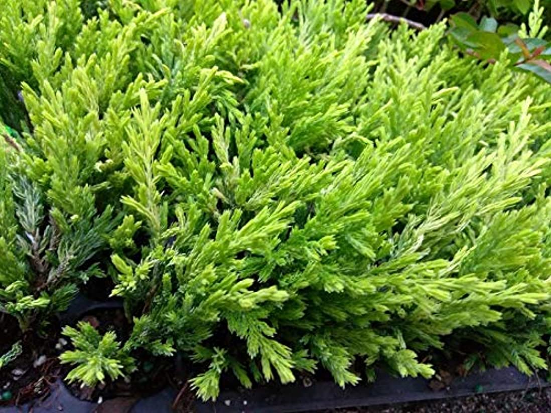 現代のエンドテーブル満足させるJUNIPER - ライムGLOW - 2つの植物 - 2