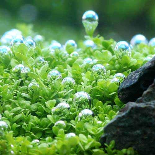 (水草) キューバパールグラス(水上葉) 鉢植え(無農薬)(1鉢) 本州・四国限定[生体]