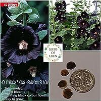種子パッケージ:10ホリホック「KingThe第8ブラック」種子(Alceaロセア)。庭好き