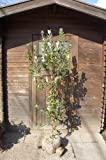 フェイジョア樹高1.5m前後 甘い芳香がする果樹【根巻き苗】