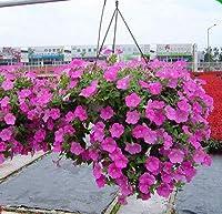 HangingPetuniaPlants、ガーデンペチュニア、ペチュニア、MixedColor-200Plants / Lot:グリーン