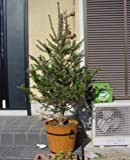 モミの木 H1100?1300