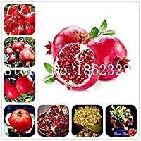 50pcsのピンクの指フルーツライム種子レアegranate種子、盆栽フルーツ種子、スウィートホームガーデンシードBconyレア種