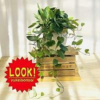 観葉植物:モンステラ ジェイドシャトルコック*鉢植え 麻布カバー 現品