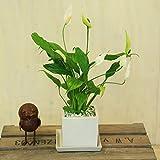 観葉植物:スパティフィラム ホワイト*キューブ陶器鉢 受皿付 ゼオライト