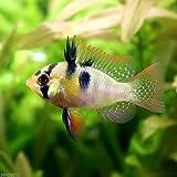 (熱帯魚)ジャーマン・ラミレジィ(国産ブリード)(1ペア) 本州・四国限定[生体]