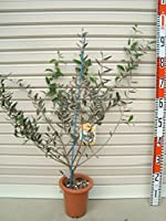 【オリーブ苗木[T]】 フラントイオ 3年生苗 6号鉢 【ガーデンストーリーの苗木】
