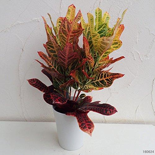 クロトン:エクセレント6号鉢植え[カラフルな観葉植物クロトン!] ノーブランド品
