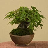 ミニで太い盆栽:山もみじ(信楽焼鉢)