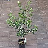 オリーブの木 鉢植え お洒落な高さ30-50サイズ 4号ポット苗