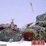 (海水魚 無脊椎)生餌 海洋性イサザアミ(0.5g) 本州・四国限定[生体]