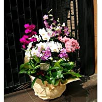 開店祝い ピンク系 誕生日 胡蝶蘭に並んで人気のおまかせ旬の洋ラン 開店祝い 誕生日