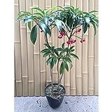 マンリョウ 樹高0.3m前後 15cmポット 万両 赤実 まんりょう 苗木 植木 苗 庭木 生け垣