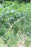 山野草:オオナルコユリ (大鳴子百合) 7.5cmポット幼苗2ポットセット【紫桜館山の花屋】