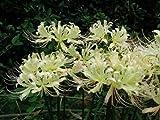 ヒガンバナ/白花(リコリス)清楚な花は秋の風物詩