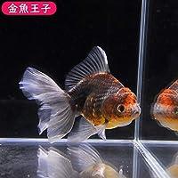 【金魚王子】三色ラウンドボディオランダ (12.5センチ前後) 個体番号:cvb393 金魚 きんぎょ 生体 オランダ 厳選個体