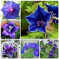 100Samen Morning Glory–Japanische blau Morning Glory (Ipomoea Nil blau Samen) dunkelblau mit einem Lila Stern und einer weiß Rand Samen
