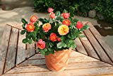 フラワー 鉢花 母の日 ギフト バラ マンゴーロマンティカ 5号鉢「母の日ギフト2017」