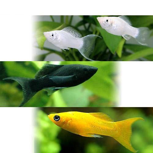 (熱帯魚) ライヤーテール3種セット ブラック+シルバー+オレンジ(各種2匹) 本州・四国限定[生体]