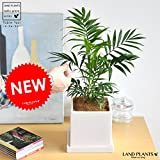 LAND PLANTS 【観葉植物】 テーブルヤシ (シンプルスクエア陶器鉢) table green series
