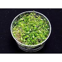イイ水草市場 水草 栄養素付 完全サポートグロッソスティグマ (100本)