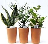 テラコッタ3寸Lミニ観葉サンスベリア、ミルクブッシュ、ホヤカルノーサ3品種セット底面給水